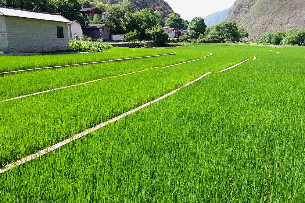 生态无公害水稻